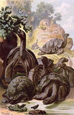 Giant Tortoises from the Galapagos Islands, from a natural history book, 1887 (colour litho)