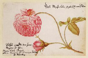 Merian, Anna Maria Sibylla : Album sheet with a rose