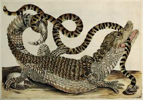 Merian, Anna Maria Sibylla : Alligator and Snake