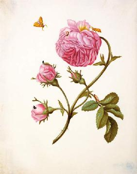 Merian, Anna Maria Sibylla : Rose with butterflies in d...