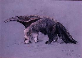 Great Anteater, 1941
