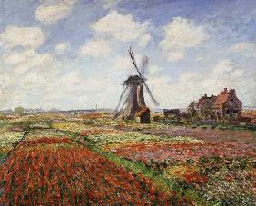 Tulip Fields with the Rijnsburg Windmill