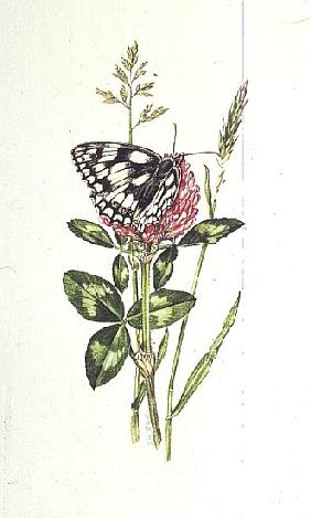 Marbled White Butterfly on Clover (w/c)