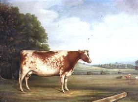 A Prize Shorthorn Cow in a...