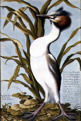 Great Crested Grebe (Podiceps cristatus) c.1748