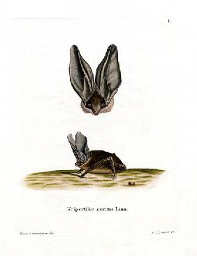 Grey Long-eared Bat
