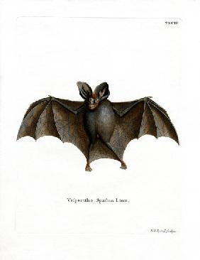 Lesser False Vampire Bat
