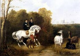 Queen Victoria (1819-1901) and Prince Albert (1819-61) Viewing the Llamas in the House Park, Windsor
