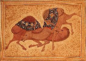 Two Camels Fighting