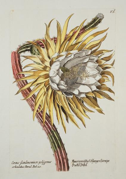Cereus Scandens Minor Polygonus from 'Phythanthoza Iconographica', published in Germany