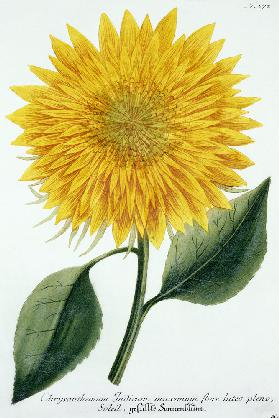 Chrysanthemum Indicum from 'Pythanthoza Iconographica', published in Germany