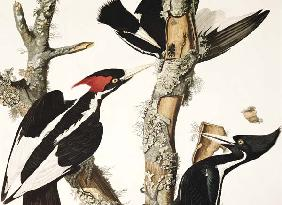 Ivory-billed Woodpecker, from 'Birds of America', engraved by Robert Havell (1793-1878) 1829 (colour