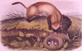 Black-footed Ferret from Quadrupeds of North America (1842-5)