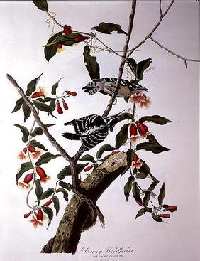 Downy Woodpecker, from 'Birds of America', engraved by Robert Havell (1793-1878) (coloured engraving