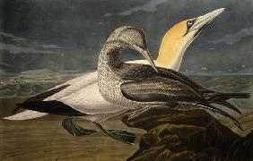 Gannets, from 'Birds of America', engraved by Robert Havell (1793-1878) published 1836 (coloured eng