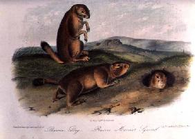 Prairie Dog from 'Quadrupeds of North America', 1842-5