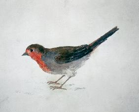 Robin, from The Farnley Book of Birds, c.1816 (pencil and w/c on paper)