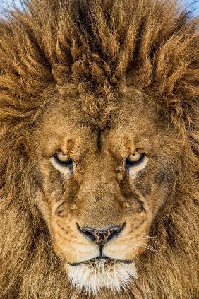 Serious Lion