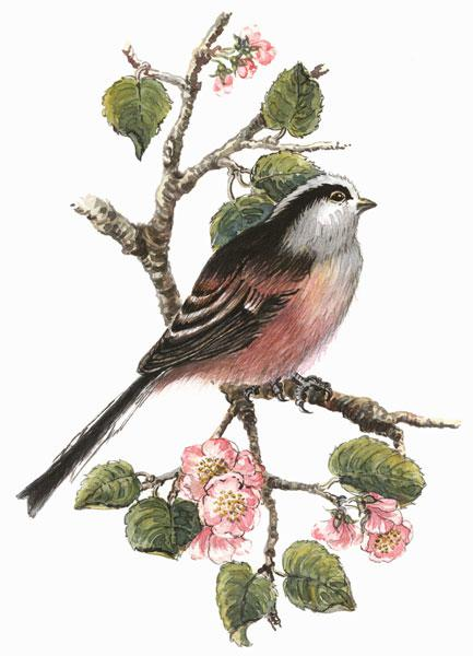 Long tailed tit and cherry blossom