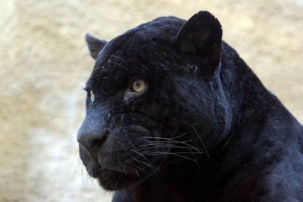 Schwarzer Panther Artist Artist As Art Print Or Hand