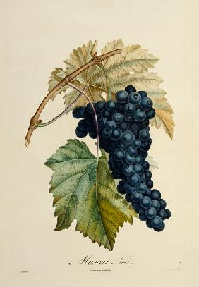 Turpin, Pierre Jean Fran�ois : Blue grape Muscat Noir