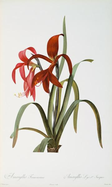 Amaryllis Formosissima, from `Les Liliacees'