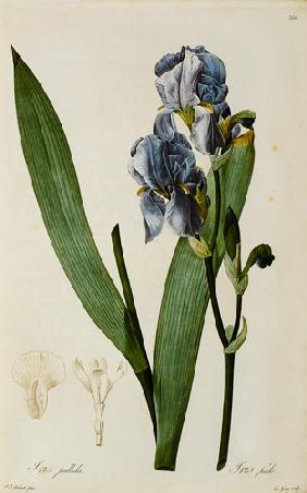 Iris Pallida, from `Les Liliacees'