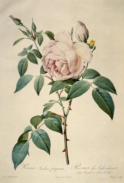Rosa chinensis and Rosa gigantea, from 'Les Roses'