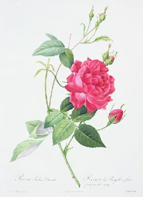 Rosa indica cruenta (blood-red Bengal rose), engraved by Langlois, from 'Les Roses'