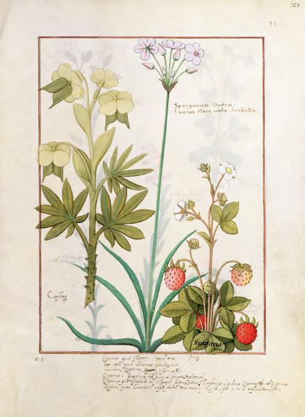 Ms Fr. Fv VI #1 fol.128r Consiligo, Burreed and Strawberry, illustration from 'The Book of Simple Me