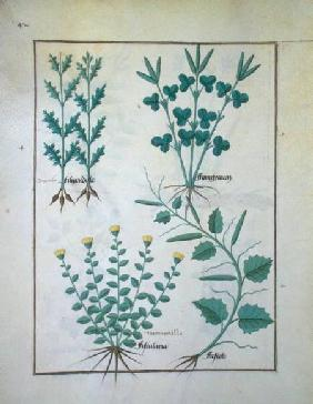 Ms Fr. Fv VI #1 f.132v Top row: Filipendula. Bottom row: Fistularia and Faseolus, illustration from