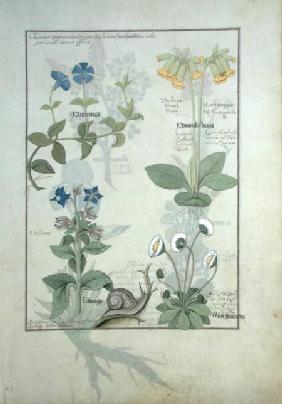 Ms Fr. Fv VI #1 fol.114 Top row: Blue Clematis or Crowfoot and Primula. Bottom row: Borage or Forget