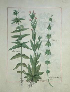 Ms Fr. Fv VI #1 fol.116 Elusae Gennus, Caraway Thyme, and Crosswort