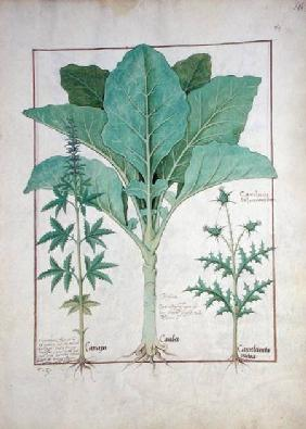 Ms Fr. Fv VI #1 fol.145r Cannabis, Brassica and Thistle