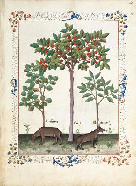 Ms Fr. Fv VI #1 fol.162r Hazelnut Bush (left) and Cherry tree (centre)
