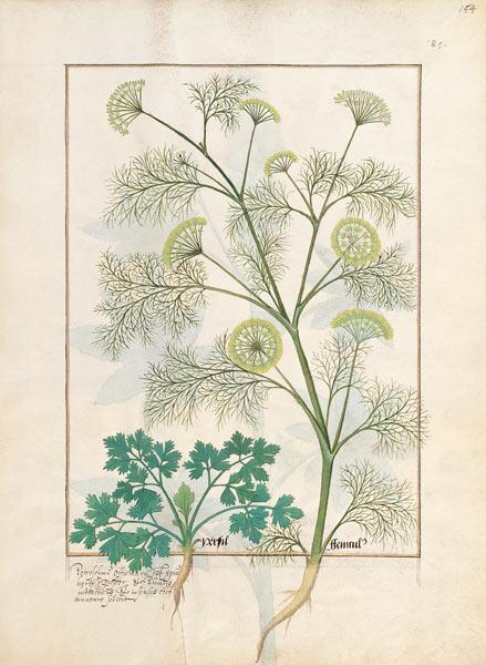 Ms Fr. Fv VI #1 fol.154r Parsley and Fennel