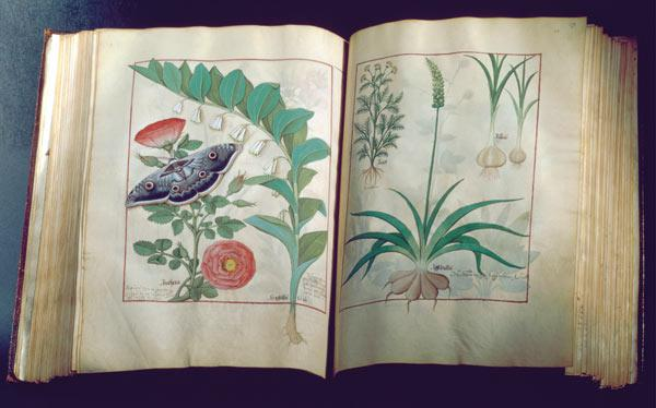 Ms Fr. Fv VI #1 Two pages depicting Rose and Garlic