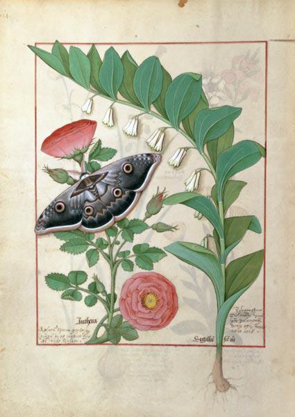 Rose and Polygonatum (Solomon's Seal) illustration from 'The Book of Simple Medicines' by Mattheaus